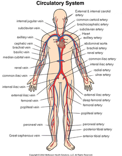cardiovascular system - systems of the human body, Human Body